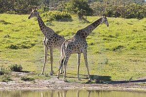 Two Giraffe Stock Photos - Image: 9656033