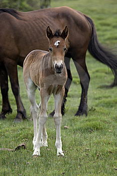 New Forest Ponies Royalty Free Stock Images - Image: 9659629