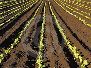 Rows Of Lettuce Royalty Free Stock Photos - Image: 9661158