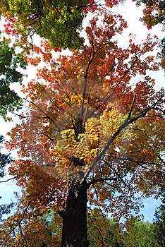 Orange/Red Maple Tree Stock Image - Image: 9669971