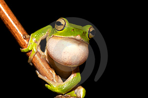 Emerald Green Tree Frog Stock Photos - Image: 9674263
