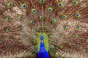 One Peacock - One Hundred Eyes Stock Photography - Image: 9674532