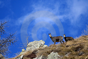 Chamois Royalty Free Stock Images - Image: 9684799