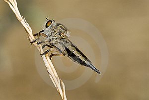 Asilidae Stock Photography - Image: 9684892