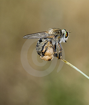 Asilidae Royalty Free Stock Photography - Image: 9685117