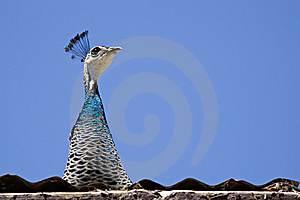 Peacock On The Roof Stock Photography - Image: 9685632