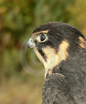 Hobby Falcon Royalty Free Stock Image - Image: 9690916