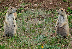 Two Prairie Dogs Royalty Free Stock Photo - Image: 9696865