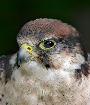 Bird Of Prey Stock Photos - Image: 973693