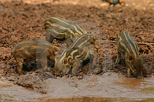 Baby Pigs In The Mud 6 Stock Images - Image: 973984