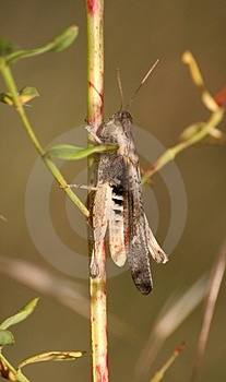 Grasshopper Stock Photo - Image: 978400
