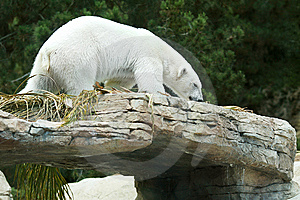 White Polar Bear Stock Photos - Image: 9700103