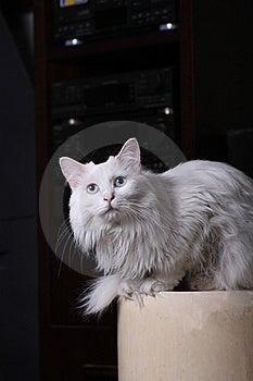 White Cat Stock Image - Image: 9702651