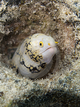 Little Moray Eel Stock Images - Image: 9702984