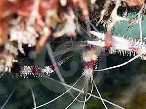 Banded Coral Shrimp Royalty Free Stock Image - Image: 9703066