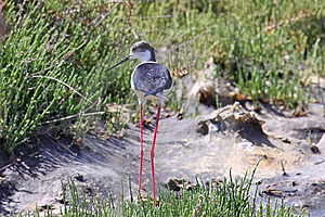 Black-Winged Stilt Royalty Free Stock Images - Image: 9703399