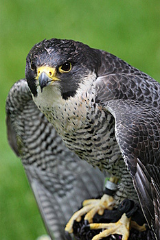 Noble Skilled Falcon Stock Image - Image: 9704721
