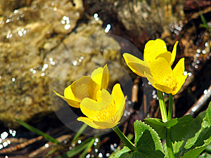 Marsh Marigold Royalty Free Stock Images - Image: 9707079