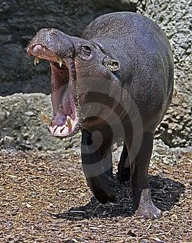 Pigmy Hippopotamus 1 Royalty Free Stock Image - Image: 9709546