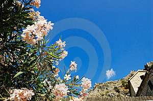 Flowering Oleander Stock Photography - Image: 9711862