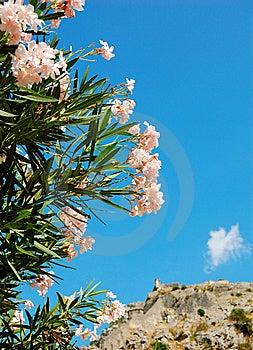 Flowering Oleander Stock Photos - Image: 9711883