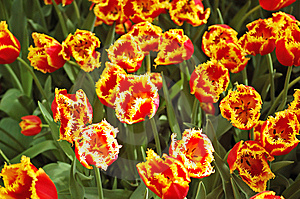 Flower Bed Of Unusual Red Tulips Royalty Free Stock Image - Image: 9711946