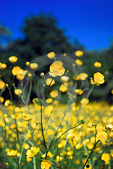 Buttercup Field Royalty Free Stock Images - Image: 9715209