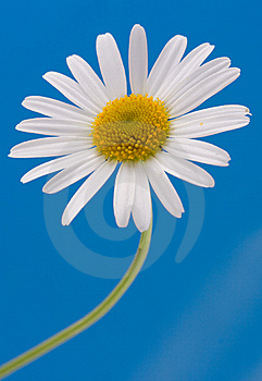 Beautiful Chamomile Royalty Free Stock Images - Image: 9715999