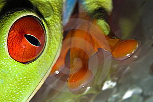 Red Eyed Tree Frog Royalty Free Stock Images - Image: 9718409