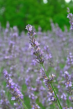 Close Up View Of Lavander Flowers In Full Bloom Royalty Free Stock Photos - Image: 9718878