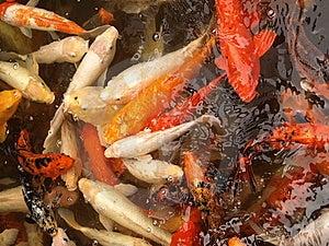 Koi Fish Pond Stock Image - Image: 9721251