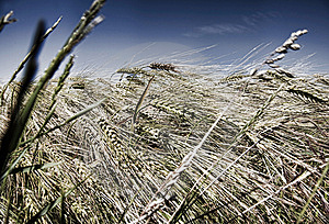 In Grain Field Stock Photography - Image: 9724002
