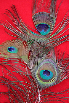 Cogue Feathers Stock Images - Image: 9724654