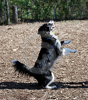 Dog Standing On Hind Legs Royalty Free Stock Photo - Image: 9726605