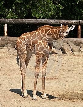 Young Giraffe In ZOO Stock Photo - Image: 9727450