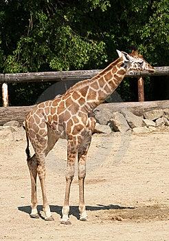 Jonge Giraf In DIERENTUIN Stock Afbeelding - Afbeelding: 9727481