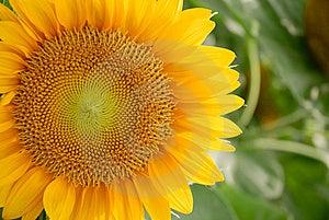 Sunflower Royalty Free Stock Photo - Image: 9727515