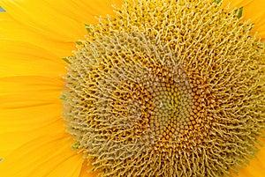 Sunflower Royalty Free Stock Photos - Image: 9727518