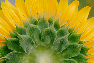Sunflower Royalty Free Stock Image - Image: 9729696