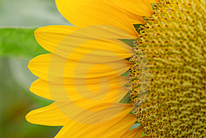 Sunflower Royalty Free Stock Images - Image: 9729699