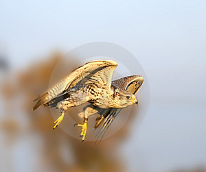 The Falcon In The Flight Stock Photos - Image: 9731793