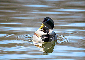 Wild Duck Over The Blue Water Stock Photography - Image: 9731832