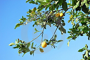 Lemons On The Tree. Royalty Free Stock Photos - Image: 9735748