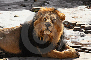 African Lion. Stock Images - Image: 9736164