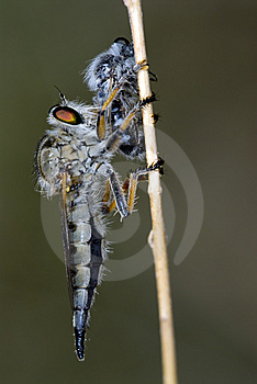 Asilidae Royalty Free Stock Photo - Image: 9736745
