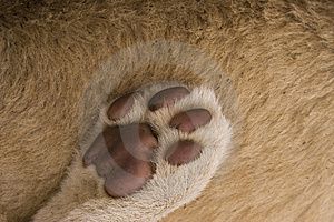 Lion Paw Abstract Royalty Free Stock Photography - Image: 9737847