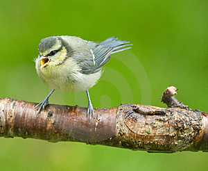 Blue Tit Royalty Free Stock Images - Image: 9738989