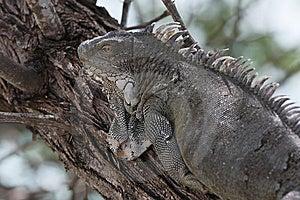 Green Iguana (Iguana Iguana) Stock Images - Image: 9740134