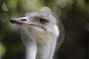 Ostrich Royalty Free Stock Photos - Image: 9740908