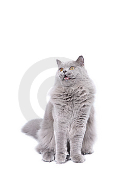 Excited British Kitten Isolated Stock Photography - Image: 9744672